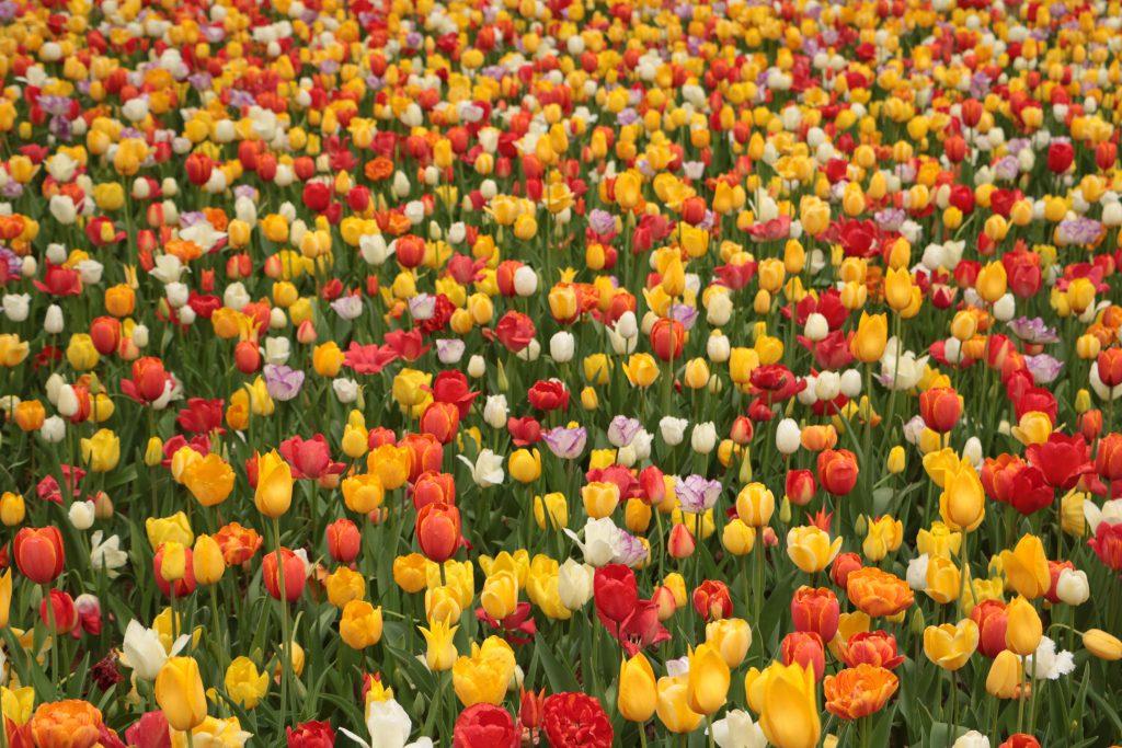 柏のヘアサロンominoチューリップの花